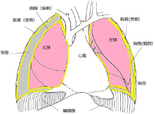 中皮腫とは 9.胸膜中皮腫の標準的治療 手術・化 …